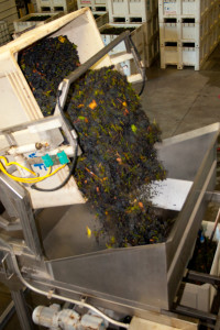 The first wave- Stanly Ranch Pinot into the hopper at Garnet Vineyards