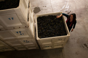 Bins of Stanly Ranch Pinot, waiting to begin fermenting