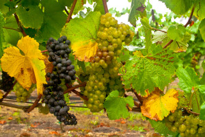 Pinot Noir and Chardonnay together at Rodger's Creek Vineyard