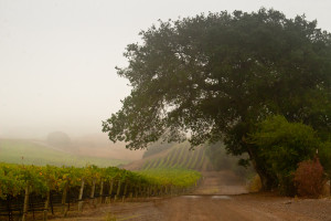 The Last Holdout:  Rodgers Creek Vineyard, Sonoma Coast, is always the last Pinot Noir I pick