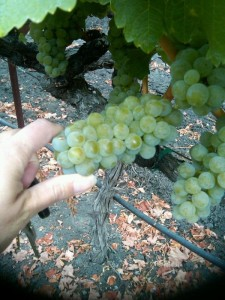 Chardonny, which I usually pick about halfway through the Pinot harvest, is later than expected this year.