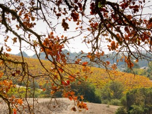 Grapevines turn red and gold in the late October sunlight, signalling an end to an early but high-quality Harvest 2013.