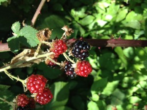 Wildcrafted blackberries from the creeks in our vineyards lend their rich color and flavor to summer drinks.
