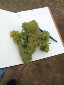 Russian River Chardonnay remained tight and firm and was about two weeks later than normal.