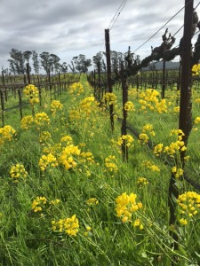 No leaves or blooms in Carneros yet. Right now, the focus in the vineyards is on the gorgeous mustard.