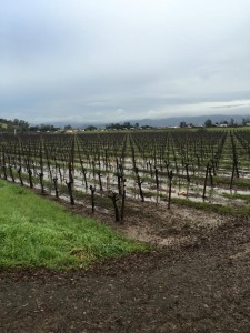 Chardonnay vines in Carneros after about 2 inches of rain. They drained out pretty quickly the next day.