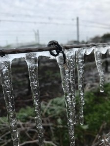 It looks scary, but purposefully-sprinkled frozen water actually protects baby grape buds, as long as the temperatures don't get too much below freezing.