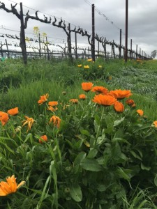 Cloudy skies and rain this week don't pose a problem- it's OK for grapevines to have April Showers before May Flowers (grapevine bloom).