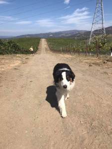 Huey enjoyed walking the Carneros Hills scouting out the last Pinots.
